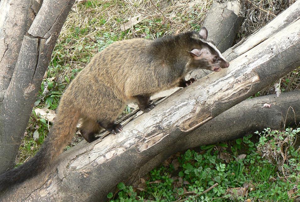ハクビシンとは、ジャコウネコ科ハクビシン属の動物です。「ジャコウネコ」で気づいた人もいると思いますが、日本で唯一のジャコウネコ科の哺乳類です。