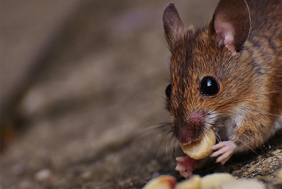 ネズミ 駆除