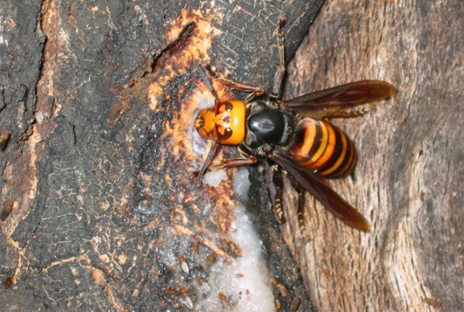 嫌い スズメバチ 匂い が な