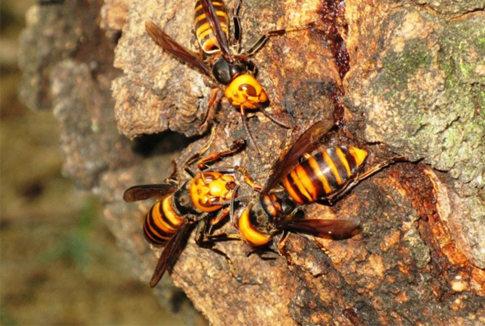 匂い 嫌い な スズメバチ が
