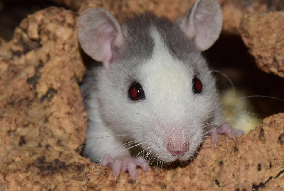 若一光司 ネズミ