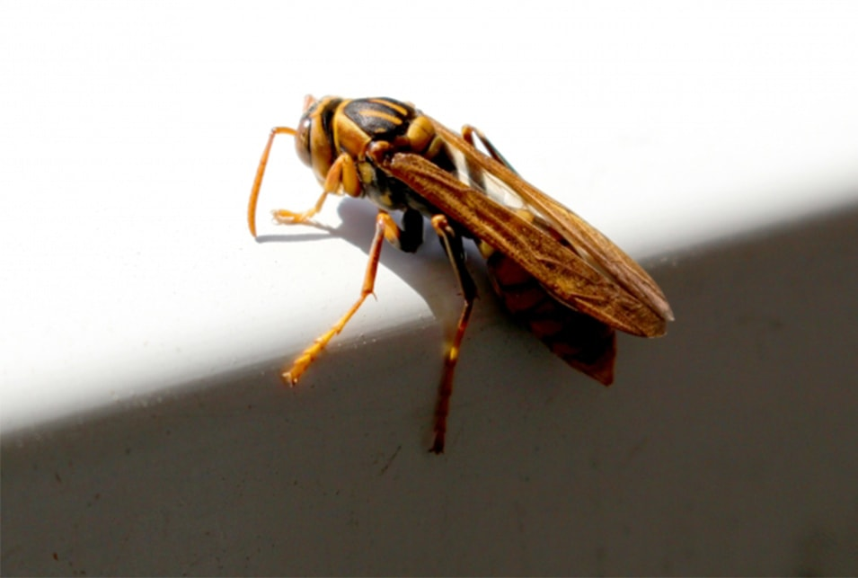 アシナガバチの画像 p1_16